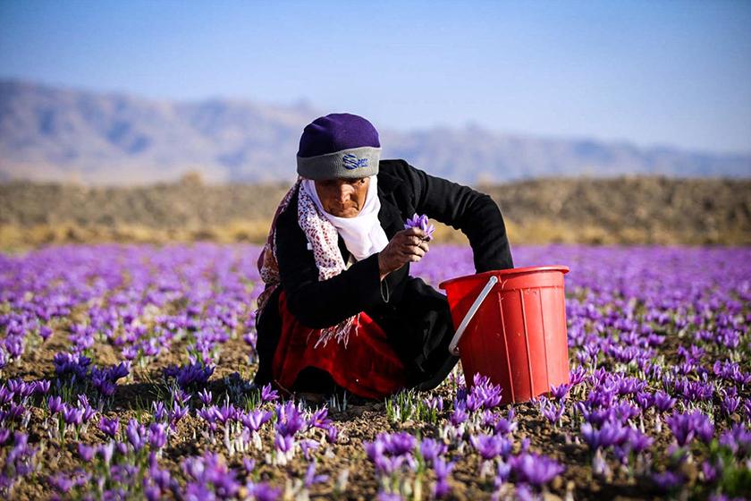 گل زعفران