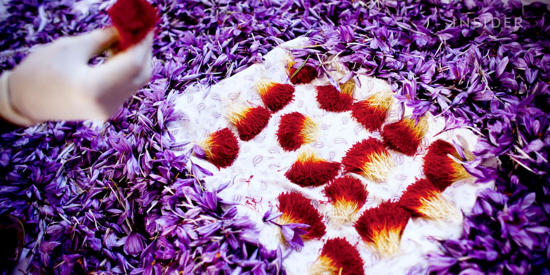 چیدن گل زعفران1