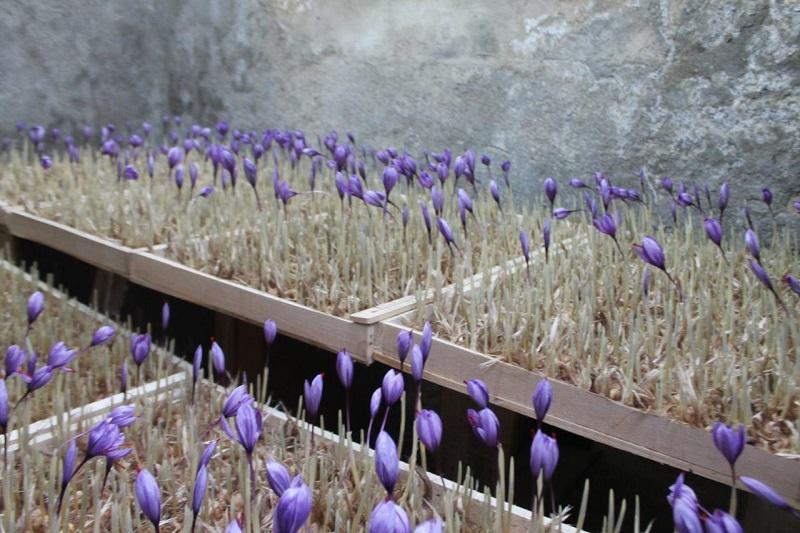 کاشت زعفران به روش گلخانه ای