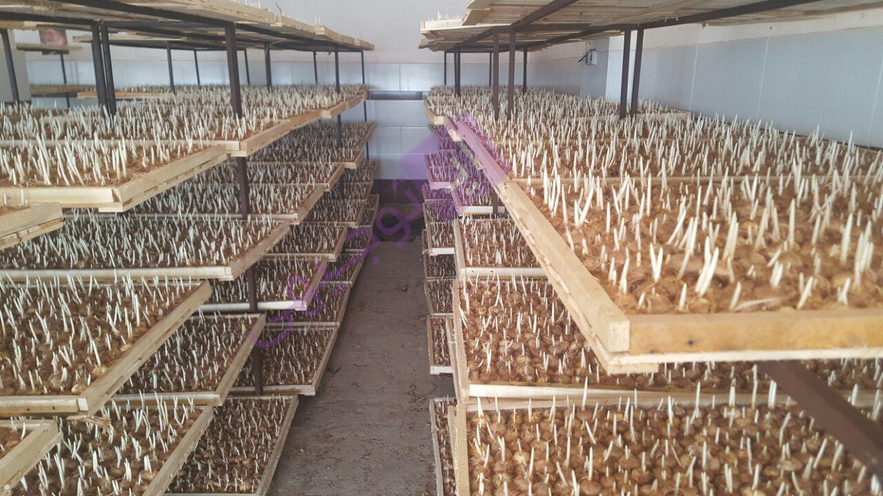 کاشت زعفران به روش گلخانه ای۰۱
