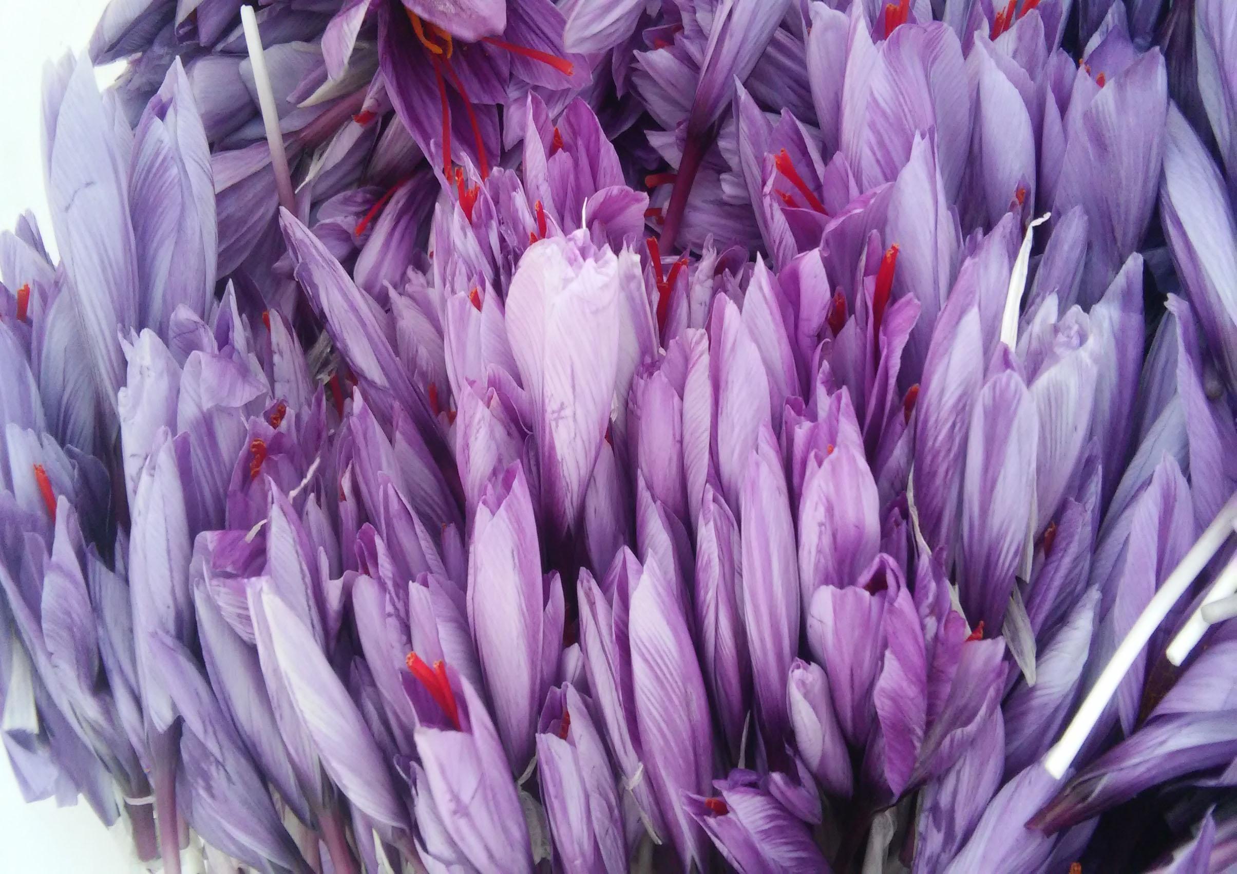 خواص گلبرگ زعفران۱