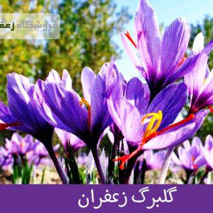 گلبرگ زعفران3