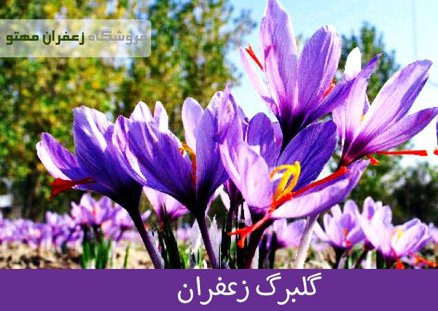 گلبرگ زعفران۳