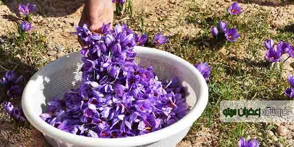 Buy-saffron-for-export