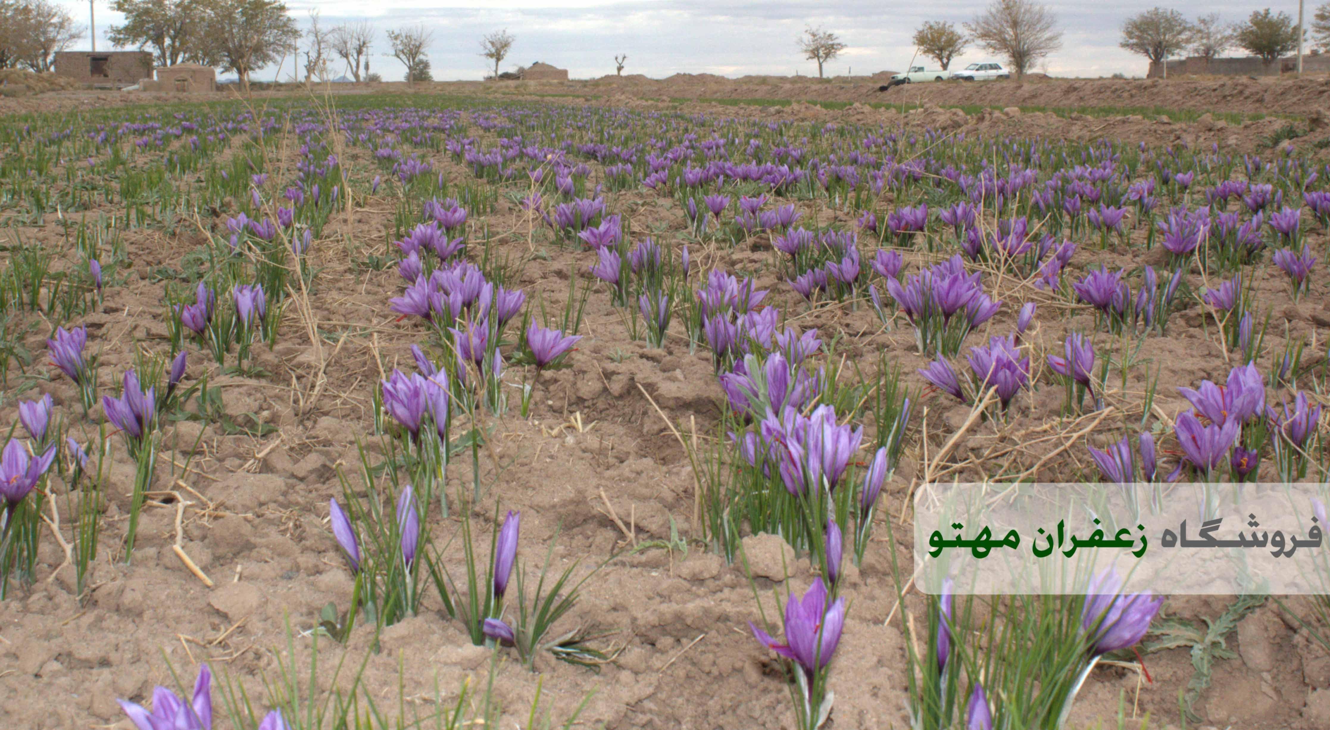 saffron keshavarz1