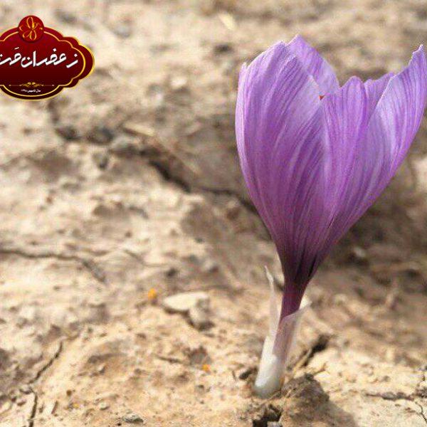برداشت-گل-زعفران
