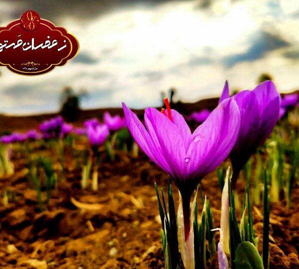 برداشت گل زعفران4