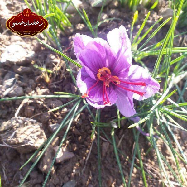 گل-زعفران2