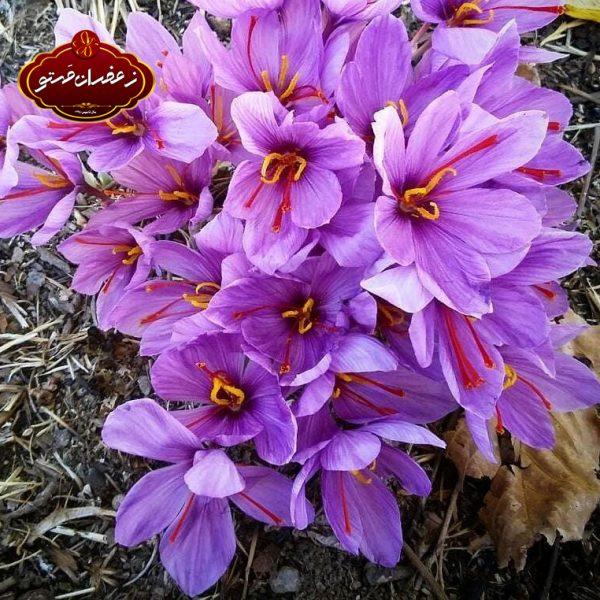 گل-زعفران3