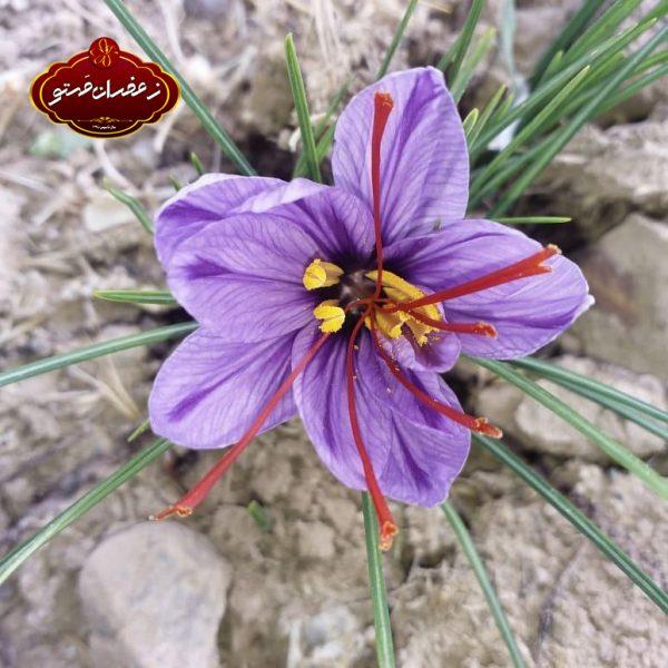 گل-واشده-زعفران