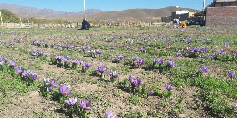 Saffron purchase price this year