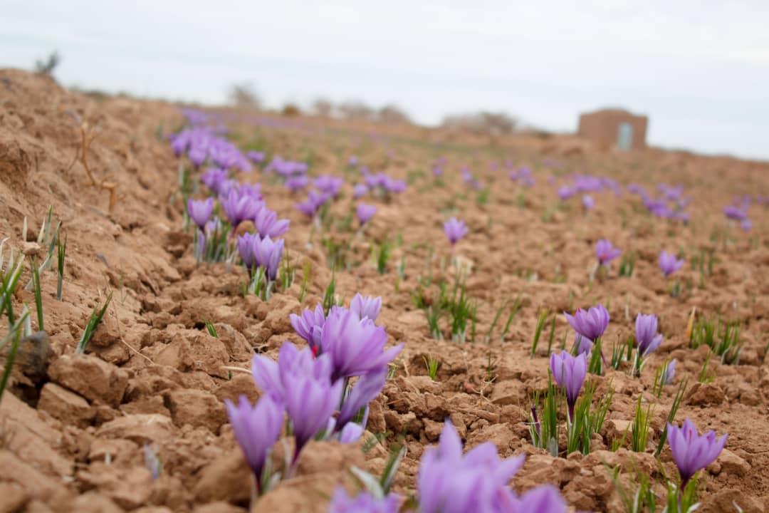 the-process-of-buying-saffron-sargol2